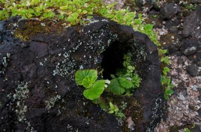 lavatree (1)